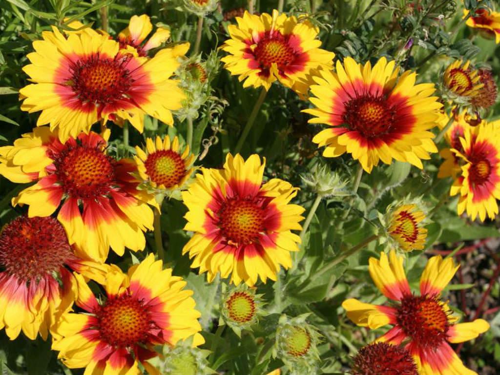 Gaillardia Aristata Common Blanket Flower World Of Flowering Plants