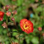 Geum quellyon - Grecian Rose