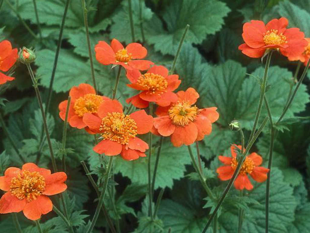 Geum quellyon - Scarlet Avens | World of Flowering Plants