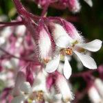 Heuchera elegans - Urn-Flowered Alumroot