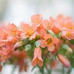 Kalanchoe delagoensis (Chandelier Plant)