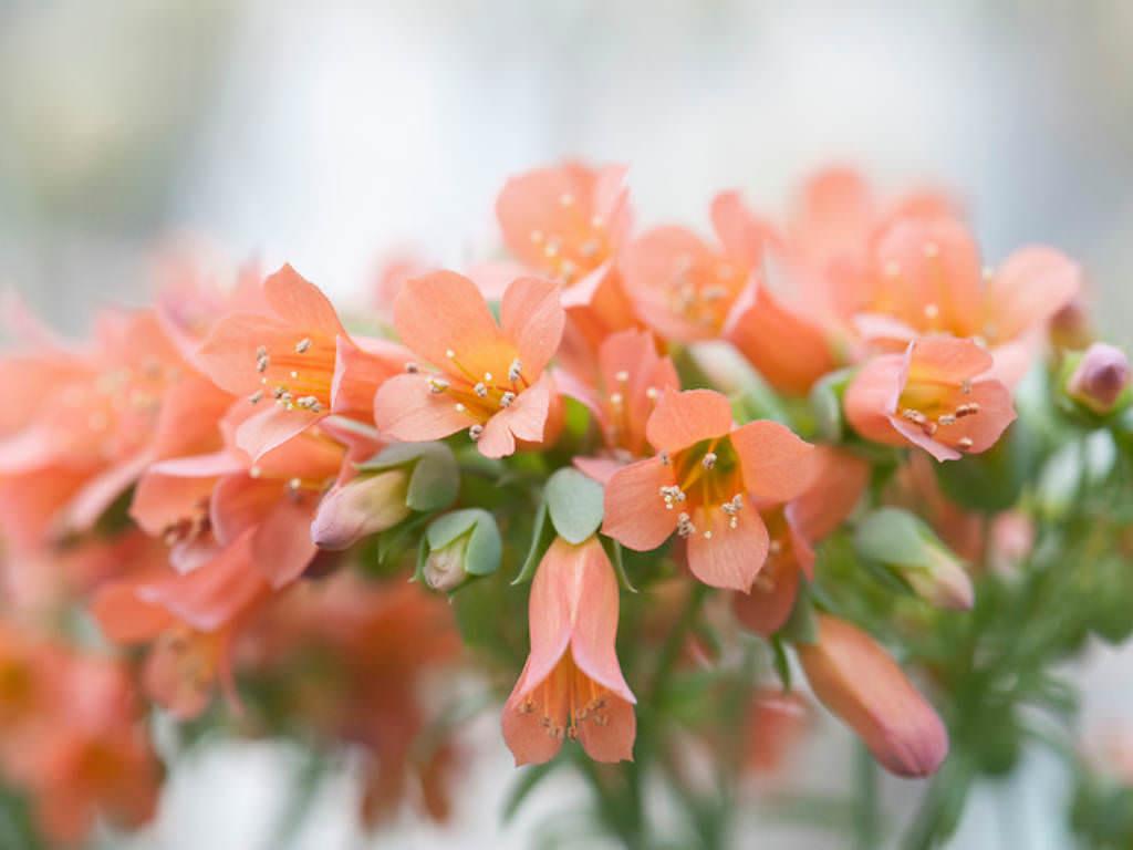 Kalanchoe delagoensis chandelier plant world of flowering plants kalanchoe delagoensis chandelier plant aloadofball Choice Image