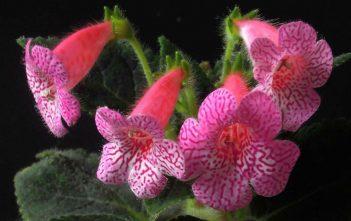 Kohleria amabilis - Tree Gloxinia