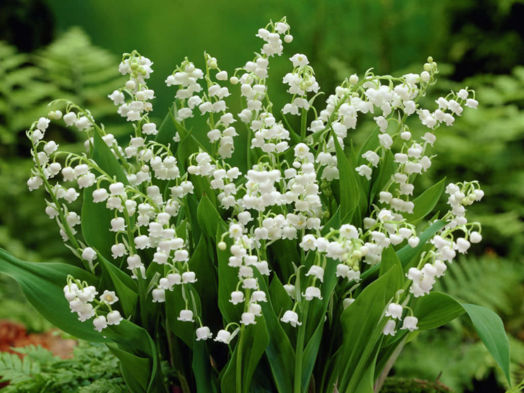 legends and facts about the lily of the valley world of flowering plants. Black Bedroom Furniture Sets. Home Design Ideas