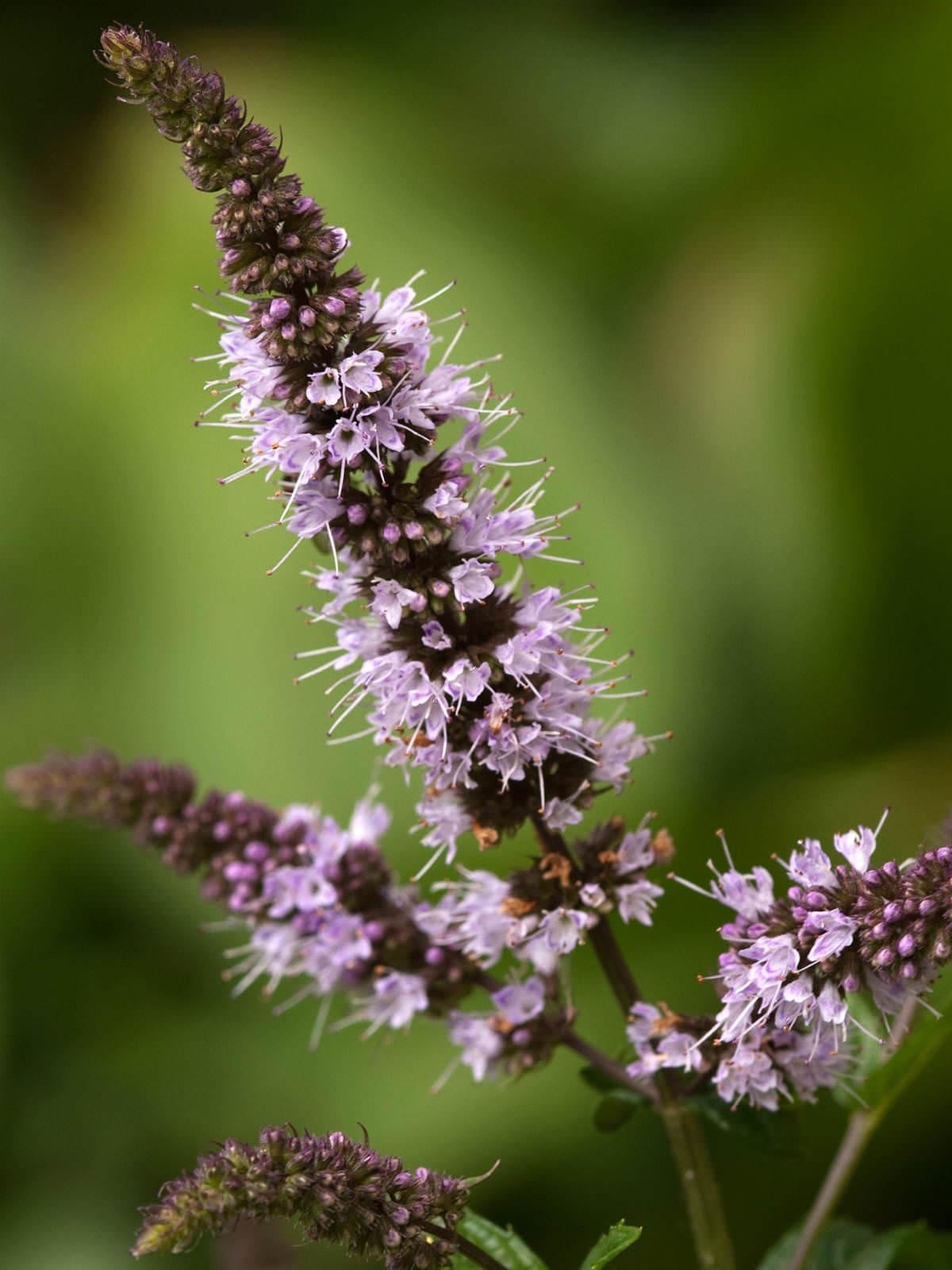Mentha × piperita - Peppermint | World of Flowering Plants