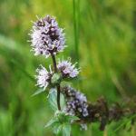 Mentha × piperita - Peppermint