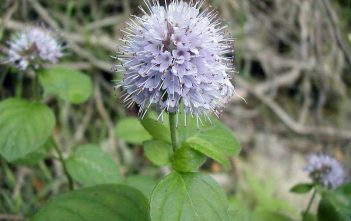 Mentha aquatica - Water Mint