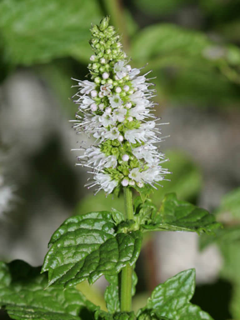 Mentha spicata spearmint world of flowering plants