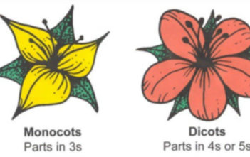Monocot or Dicot Flower