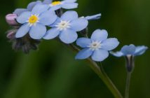 Myosotis sylvatica - Wood Forget-Me-Not