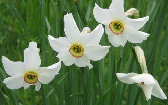 Narcissus poeticus - Poet's Narcissus