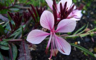 Oenothera lindheimeri - Lindheimer's Beeblossom