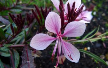 Oenothera lindheimeri - Lindheimer's Beeblossom