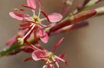 Oenothera suffrutescens - Scarlet Gaura