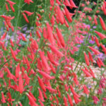 Penstemon barbatus - Beard-Lip Penstemon