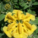 Phlomis fruticosa - Jerusalem Sage
