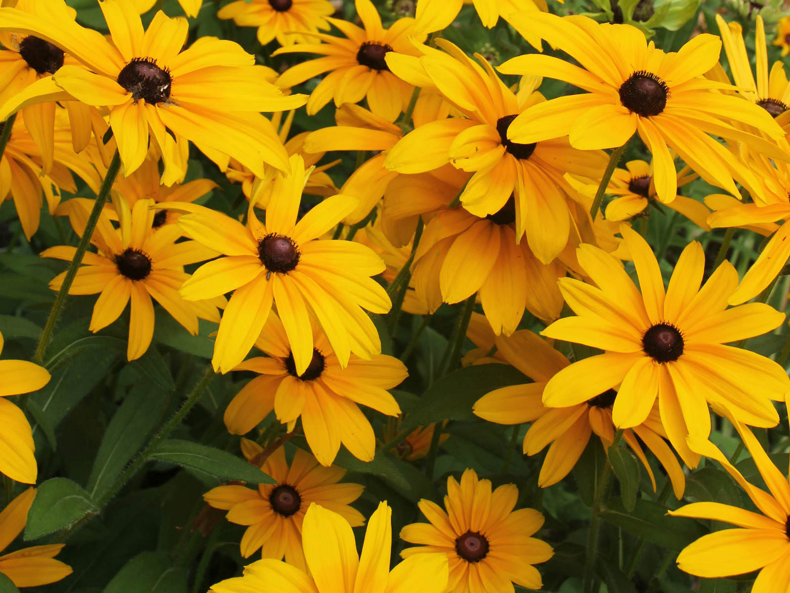 Rudbeckia hirta black eyed susan world of flowering plants Black eyed susans