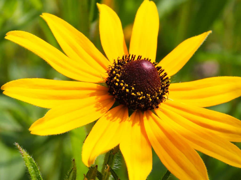 The Shelter Rudbeckia Hirta Black Eyed Susan World Of Flowering Plants