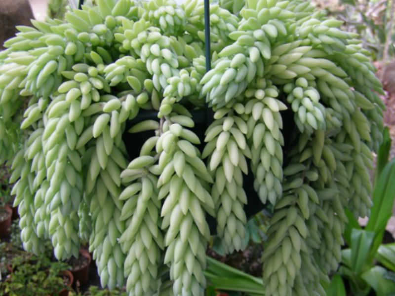 Sedum Morganianum Donkey S Tail World Of Flowering Plants