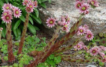 Sempervivum tectorum - Common Houseleek