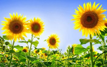 Sunflowers as a Symbol of Courage