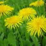 Taraxacum officinale - Common Dandelion