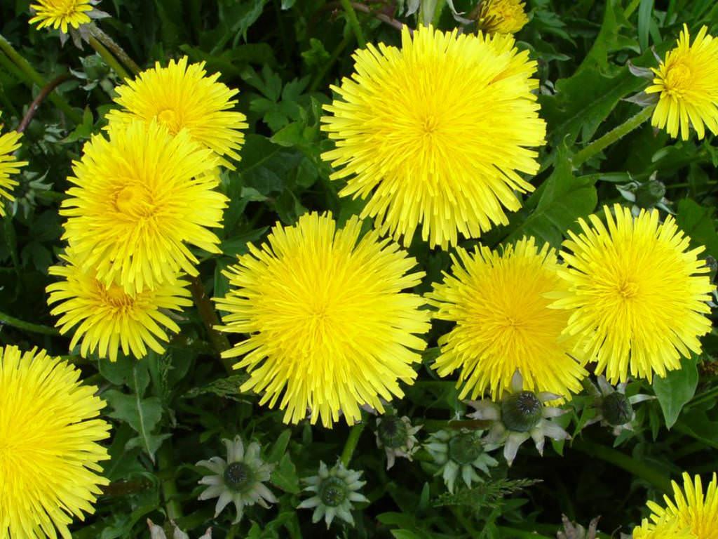 Taraxacum officinale (Common Dandelion) | World of ...