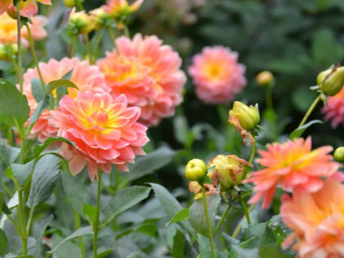 The Dahlia - Queen of the Autumn Garden