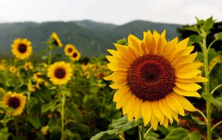 The Language of Flowers-Sunflower