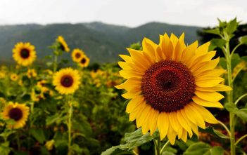 The Language of Flowers (Sunflower)