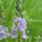Veronica officinalis - Heath Speedwell