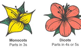 Monocot and Dicot Flowers