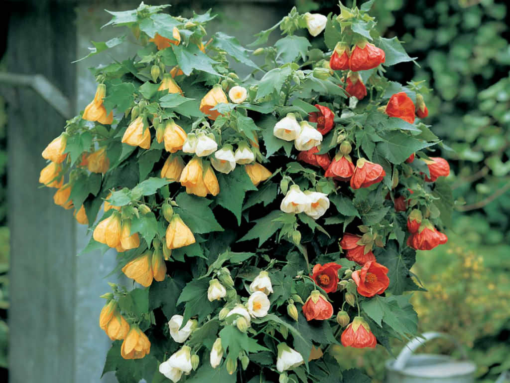 How to grow and care for abutilon world of flowering plants for Easy to care for outdoor flowering plants