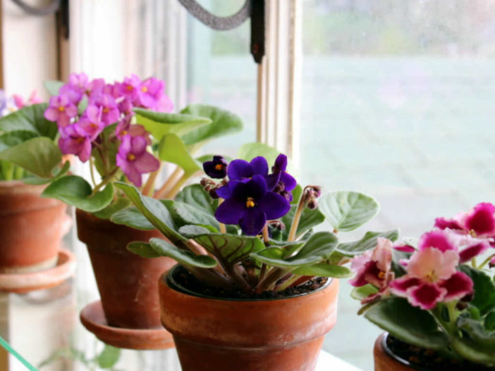 Grow and Care African Violets