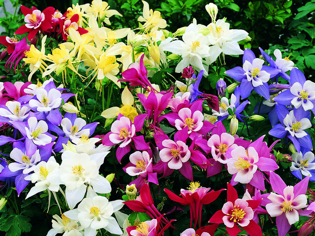 How To Grow And Care For Columbine Plants World Of Flowering Plants