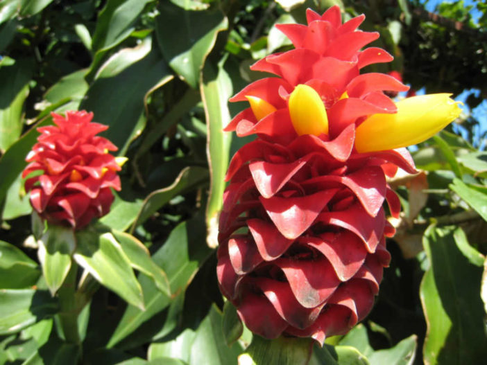 Grow and Care Costus (Costus woodsonii)