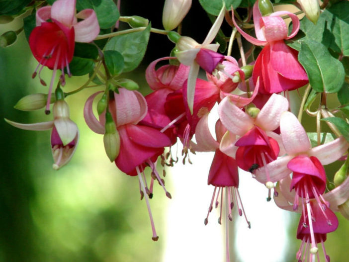 Grow and Care Fuchsia
