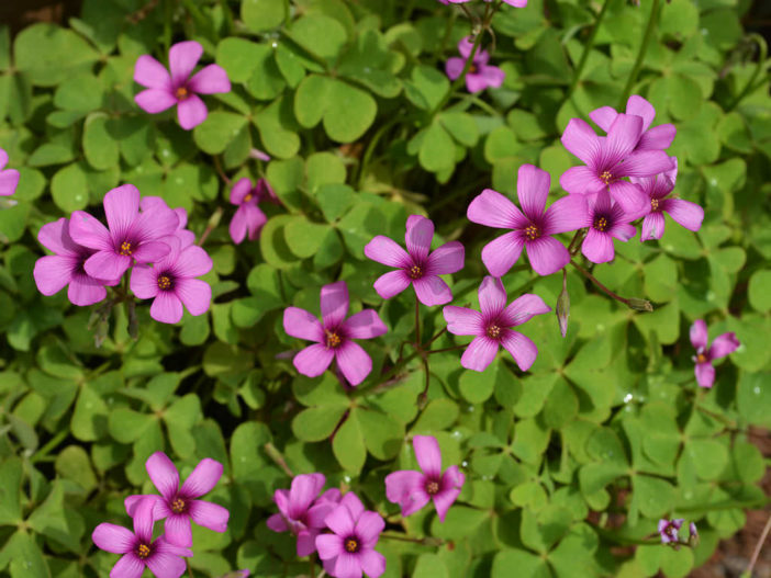 Grow and Care Oxalis
