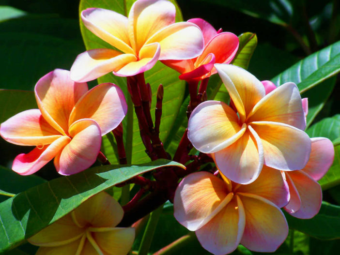 growing plumeria images