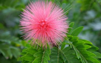 Powder Puff Plant