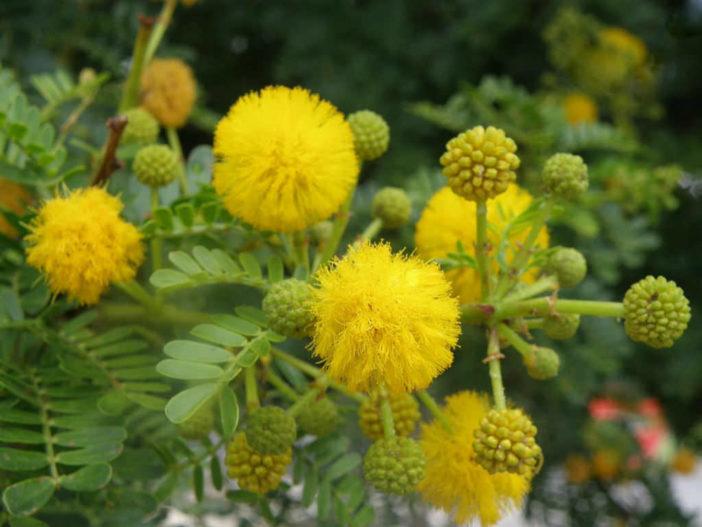 Grow and Care Acacia