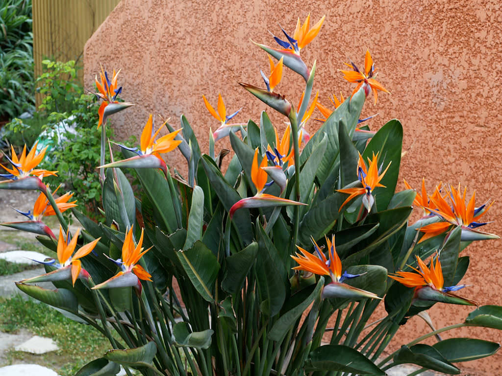 how to grow and care for а bird of paradise flower world of