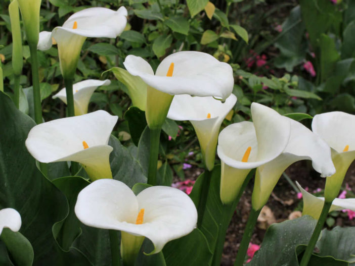Grow and Care Calla Lilies