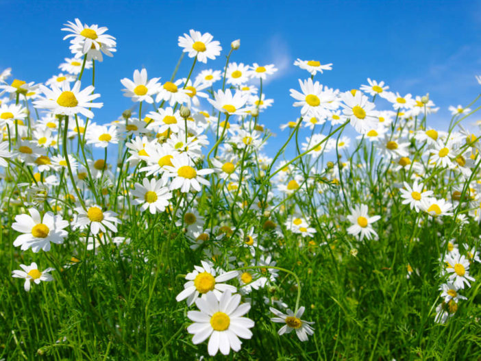 Grow and Care Chamomile Herb