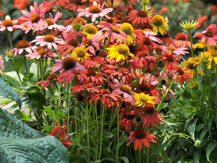 Grow and Care Coneflower