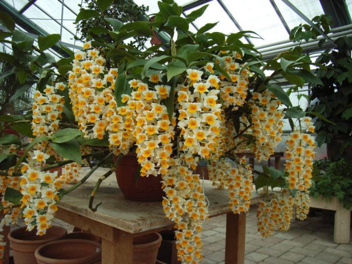 Grow and Care Dendrobium (Dendrobium thyrsiflorum)