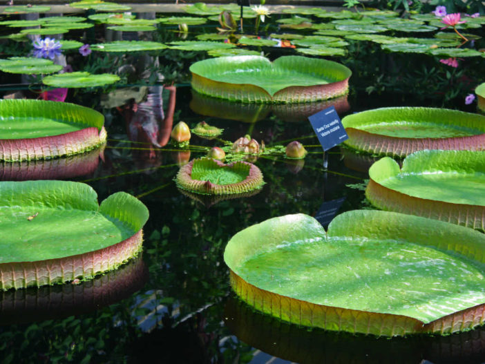 Grow and Care Amazon Water Lily (Victoria amazonica)