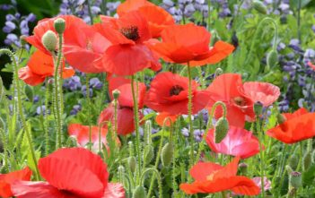 Papaver rhoeas – Corn Poppy