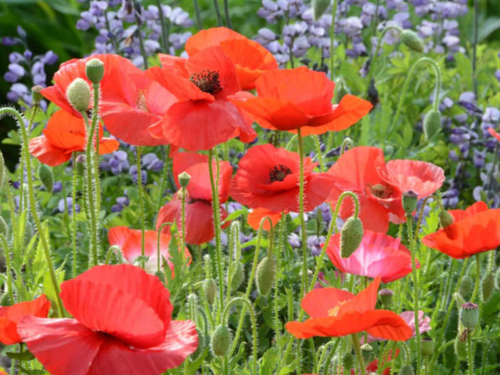 How to grow and care for a corn poppy papaver rhoeas world of papaver rhoeas corn poppy mightylinksfo