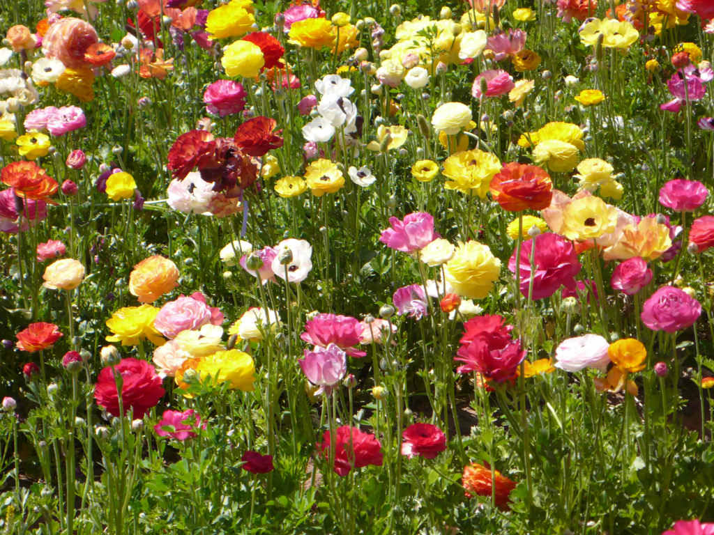 How To Grow And Care For Ranunculus World Of Flowering